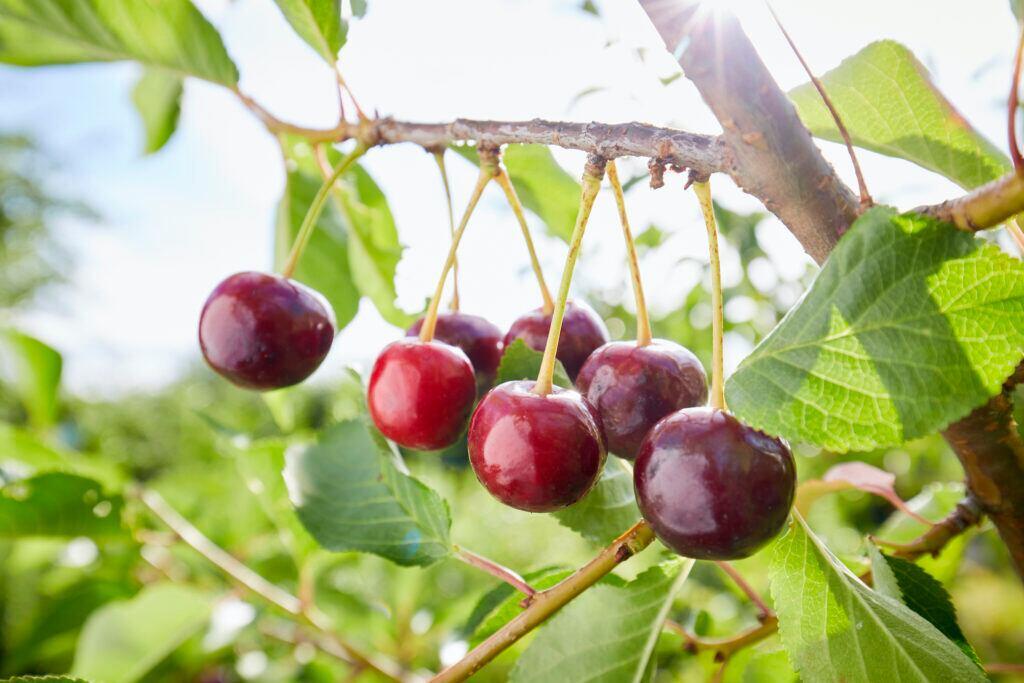 5 Methoden, um Kirschbäume vor Schädlingen zu schützen
