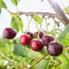 Methoden, um Kirschbäume vor Schädlingen zu schützen