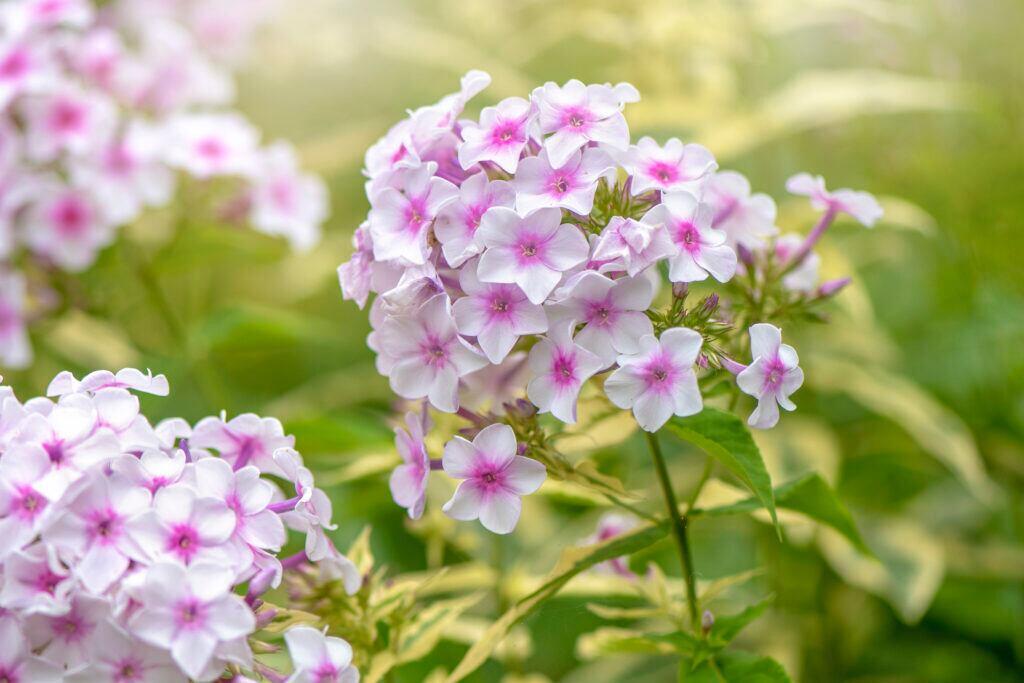 Phlox eignet sich für sonnige Standorte im Garten