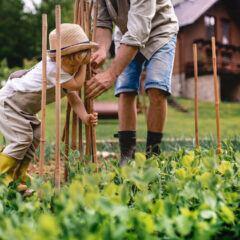 Erbsen im Garten anbauen und ernten – Tipps zur Pflege