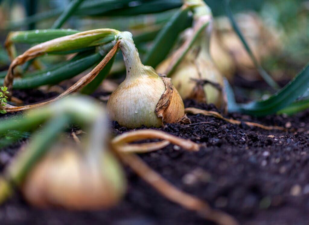 Die Zwiebel ist eine ideale Gemüseart für Anfänger.