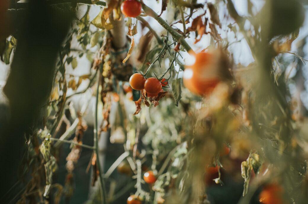 5 häufige Krankheiten bei Tomaten und wie man sie bekämpft