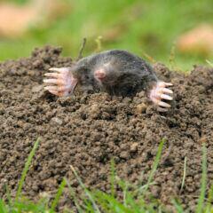 Ein Maulwurf gräbt sich aus der Erde