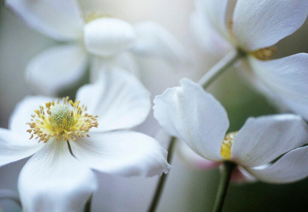 Herbst-Anemonen gehören zu den Pflanzen, die Halbschatten bevorzugen