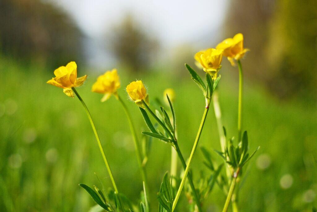 Auch die Butterblume ist eine Zeigerpflanze und weißt auf feuchten Boden hin