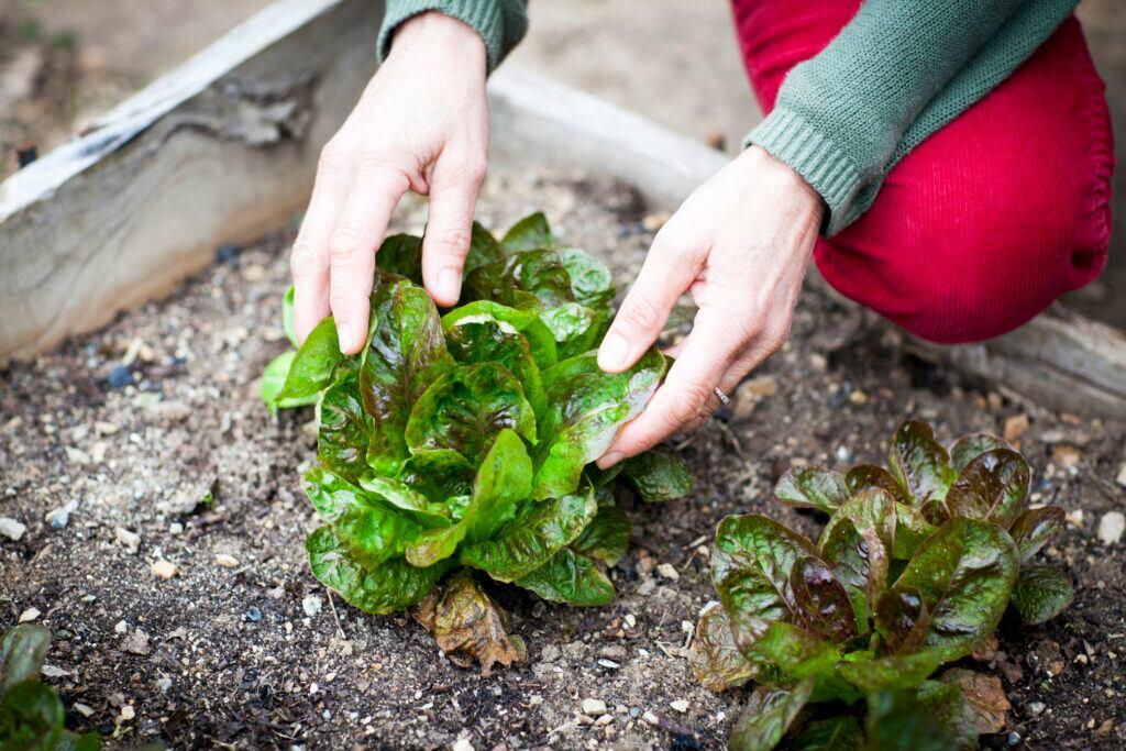 Salat in Gemüsebeet pflanzen