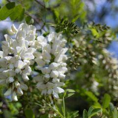 Die traubenartigen Blütenstände der Robinie