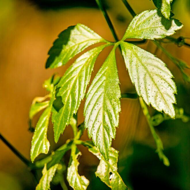 Jiaogulan ist ein echtes Wunderkraut – und lässt sich zudem ganz leicht selbst anpflanzen