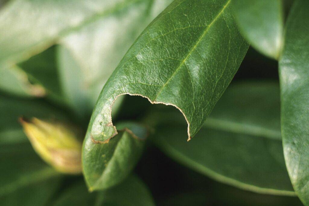Dickmaulrüssler hinterlassen Blattfraß an Pflanzen