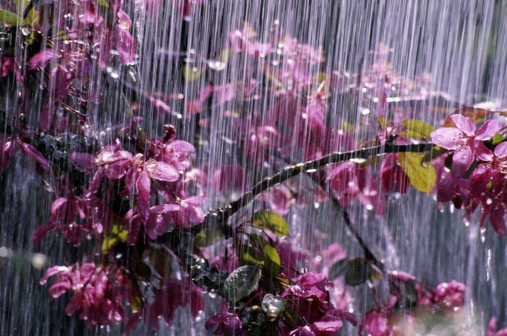 Starkregen: Kirschblüten beugen sich unter Starkregen