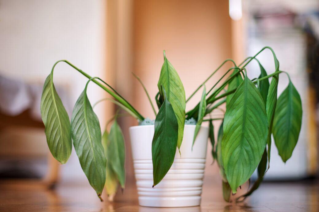 Wann sollte man gelbe, welke Blätter von Zimmerpflanzen entfernen?