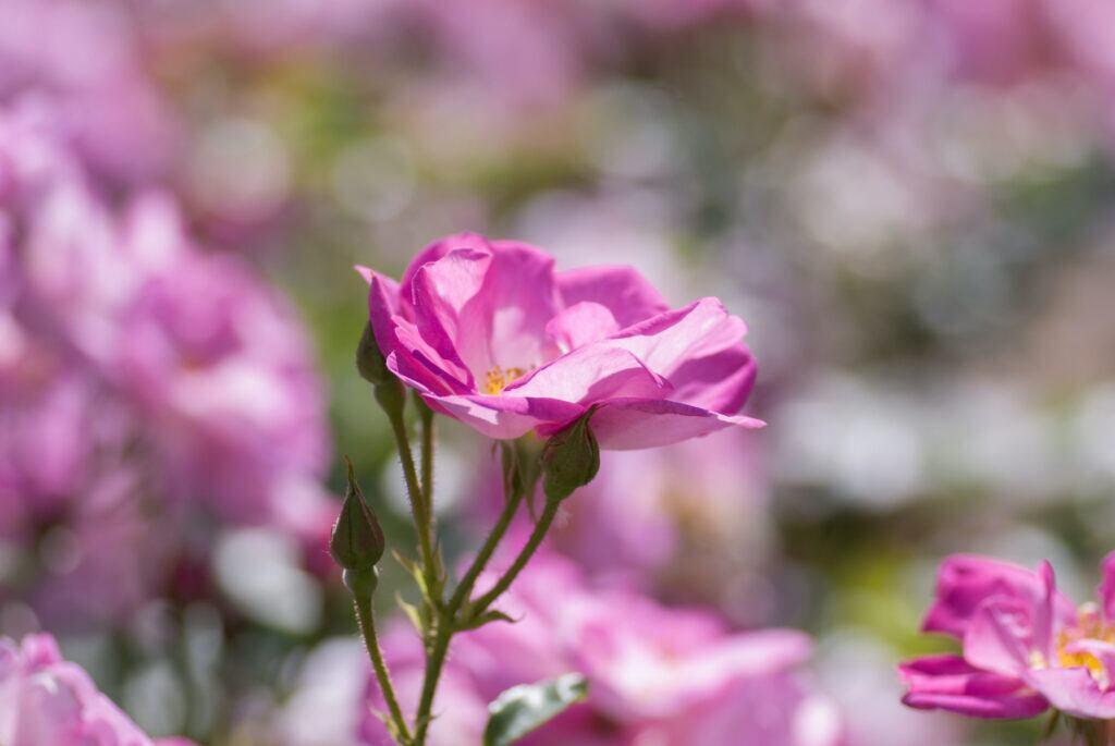 Wildrosen: Rosa rugosa mit pinken Blüten