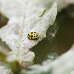 Dem Käfer scheint der Mehltau auf dem befallenen Eichenblatt nichts auszumachen.