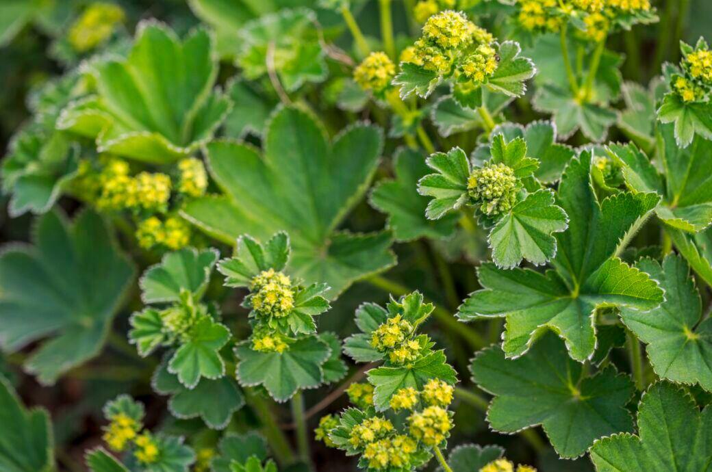 Frauenmantel ist eine beliebte Pflanze zur Beeteinfassung, aber auch als Heilkraut im Kräuterbeet unverzichtbar sowie ein idealer Rosenbegleiter