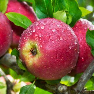 Äpfel hängen an einem Obstbaum