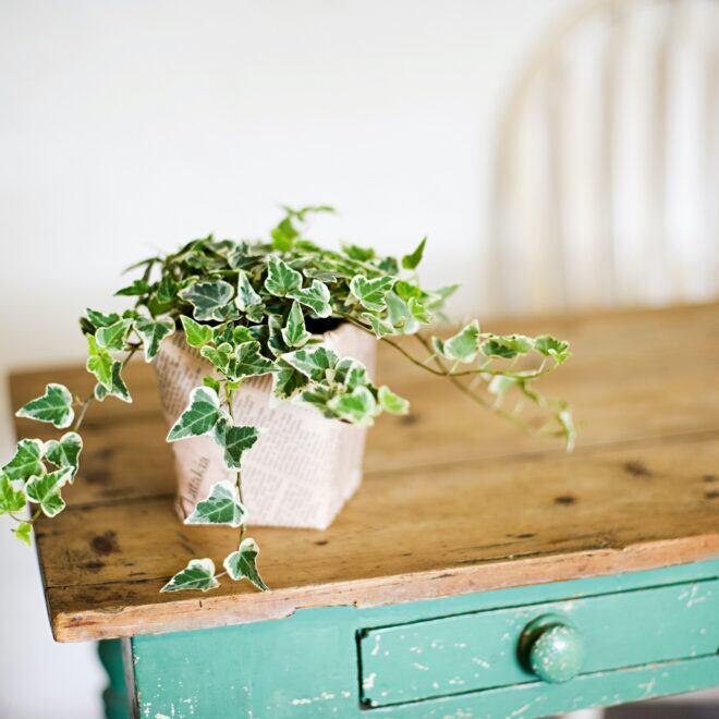 Efeu ist auch als Zimmerpflanze dekorativ, aber beim Standort anspruchsvoll