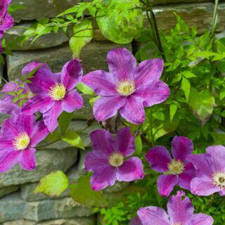 Clematis pflanzen und pflegen – Tipps für Garten und Balkon
