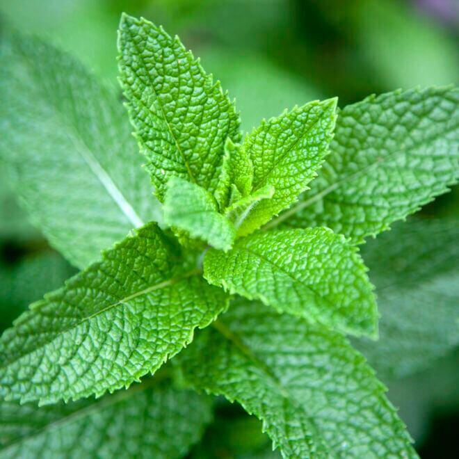 Minze im Garten anpflanzen – Sorten und Pflege-Tipps