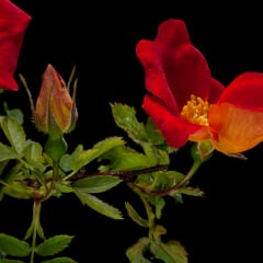 Wildrose: Eine Wildrose mit leuchtend orangenroter Blüte