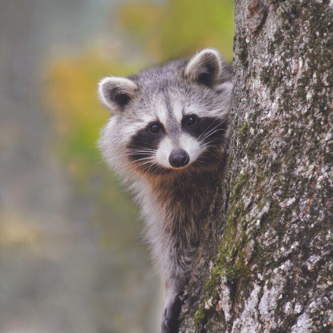 Waschbären aus dem Garten vertreiben – effektive Methoden