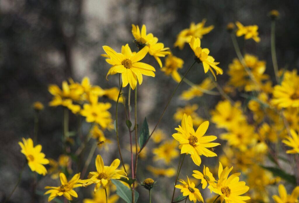 Viele gelbe Blüten des Tobinamburs sind zu sehen