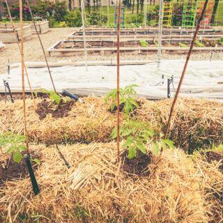 Tomaten wachsen auf Strohballen