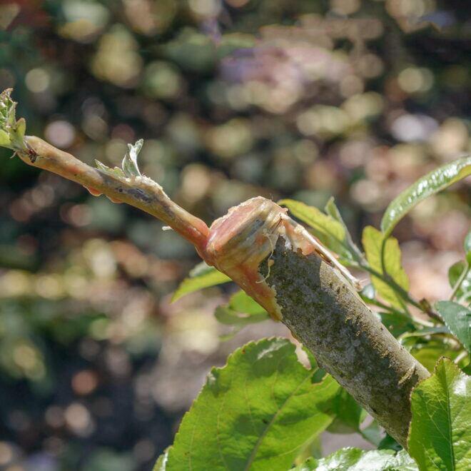 Ein Ast eines veredelten Apfelbaumes