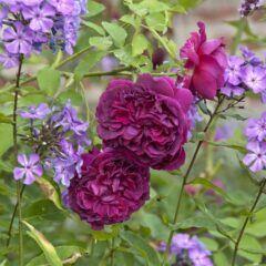 Rosenbegleiter: Phlox und Zierrose