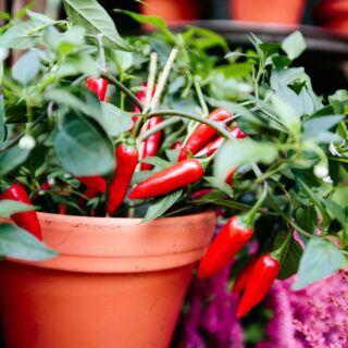 Chili selbst im Garten anpflanzen – Tipps