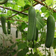 Salatgurken hängen an Gurkenpflanzen in einem Gewächshaus an einem Rankgitter.