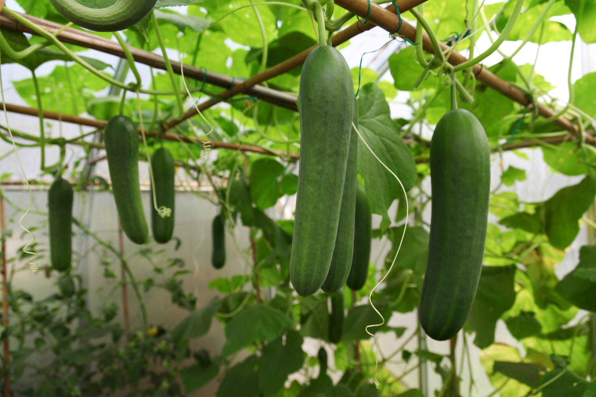 Gurkenpflanzen