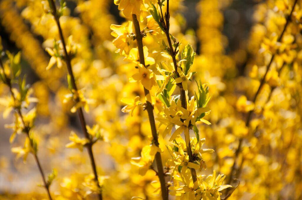 Blühende, gelbe Forsythienzweige