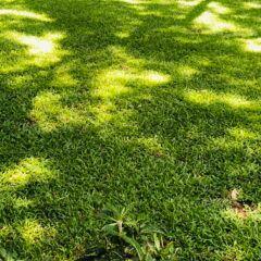 Schattenrasen aussäen, pflegen und mähen