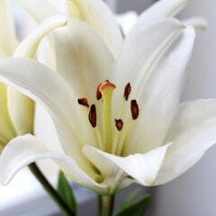 Lilien richtig schneiden, damit sie in der Vase länger frisch bleiben