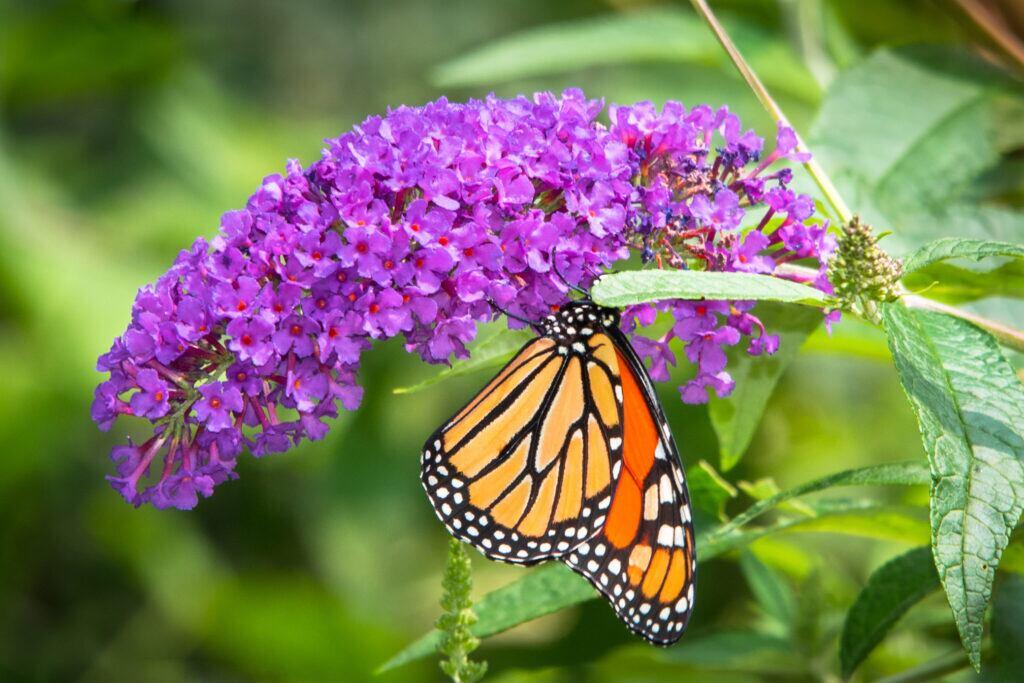 Ein Schmetterling an einer Blüte des Somemrflieders