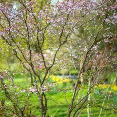 Felsenbirne im Garten pflanzen und pflegen