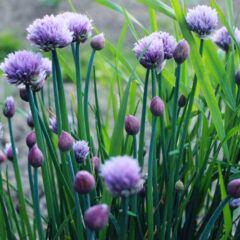 Schnittlauch im Topf und Garten anpflanzen