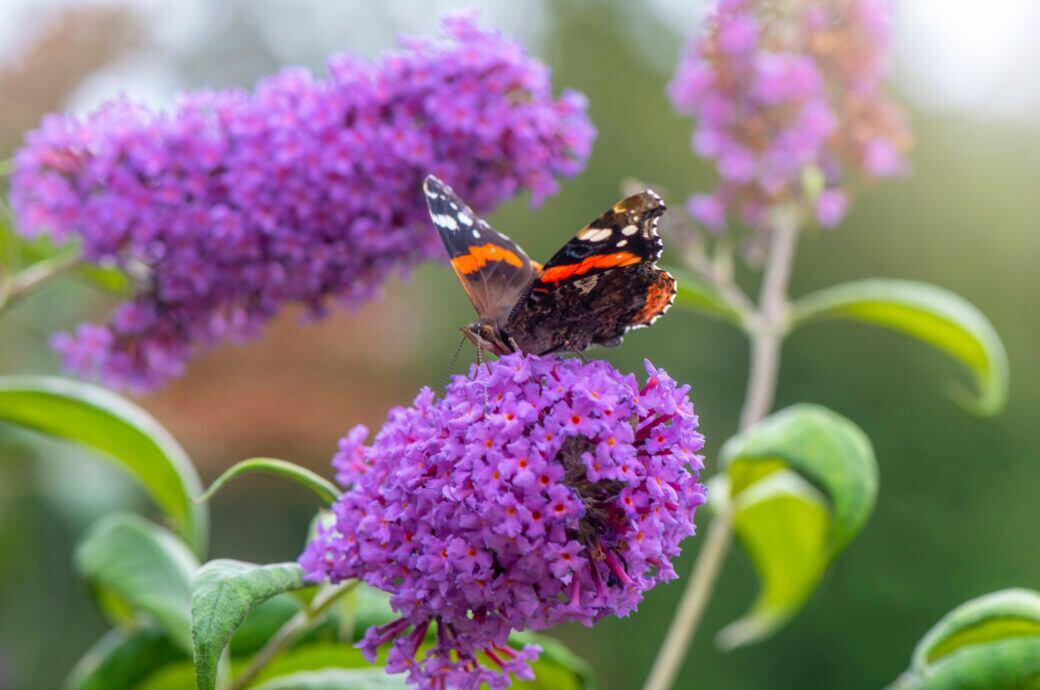 Ein Schmetterling sitzt auf einer Blüte des Sommerflieders