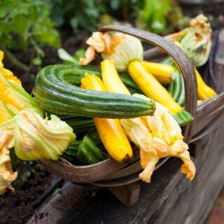 Zucchini und ihre Früchte ernten