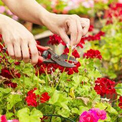 Mit einer Gartenschere werden verwelkte Geranienblüten abgeschnitten.