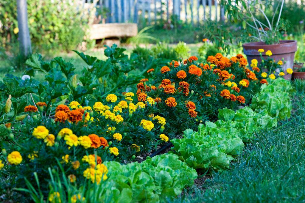 Tagetes in einer Reihe im Garten gepflanzt