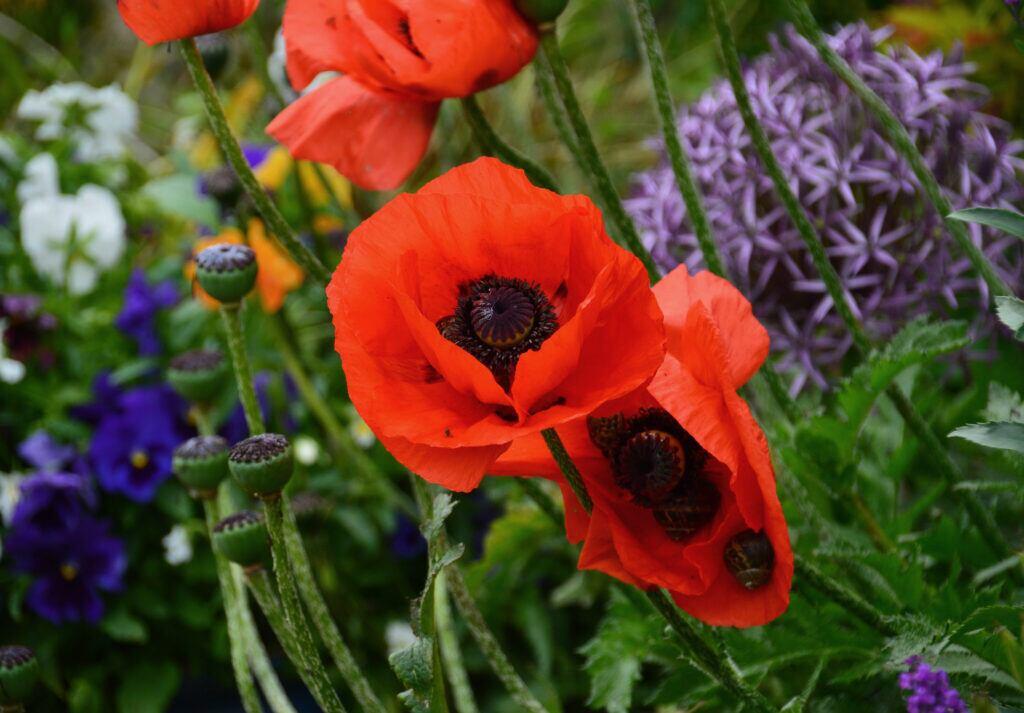 6 Mohn-Gewächse, die jeden Garten verschönern