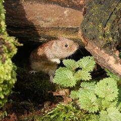 Wühlmaus unter einem Stein mit Moos und Gehölz
