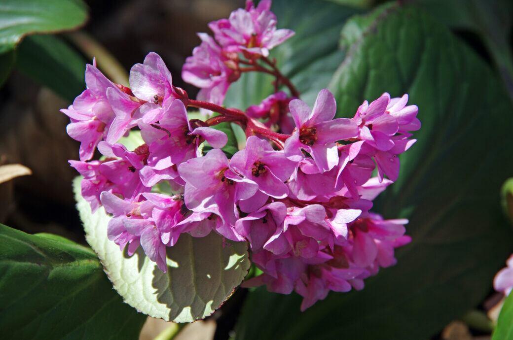 Bergenie mit lila Blüten