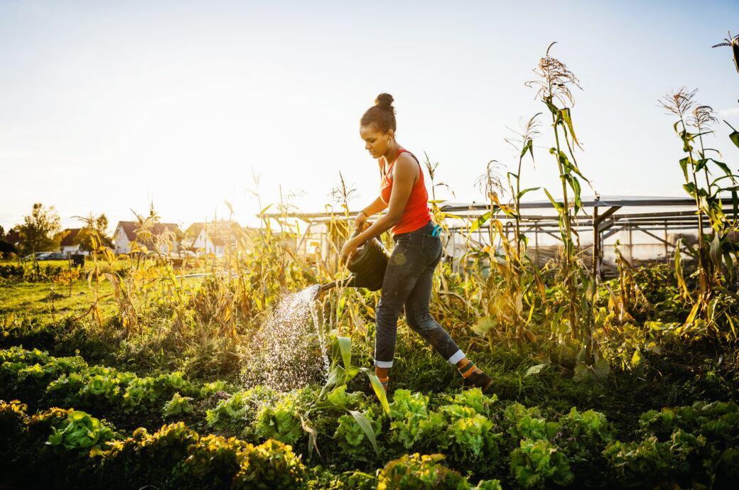 Frau gießt mit einer Gießkanne ein Gemüsebeet