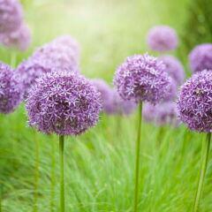 Zierlauch: lila leuchtende Blütenkugeln des Zierlauchs