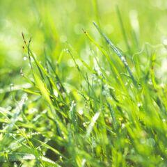 Grashalme mit Tautropfen im Sonnenlicht
