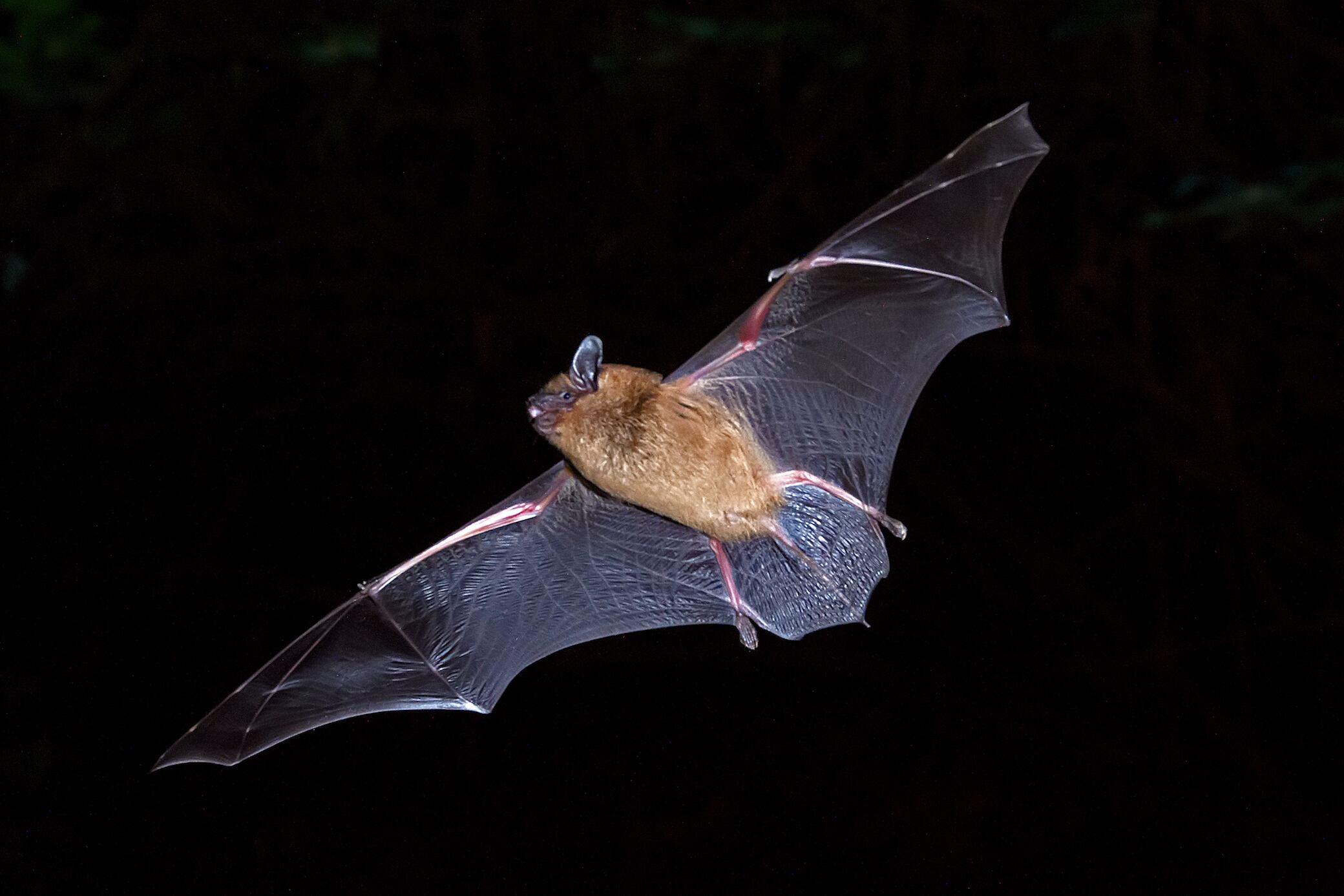 Große Fledermaus