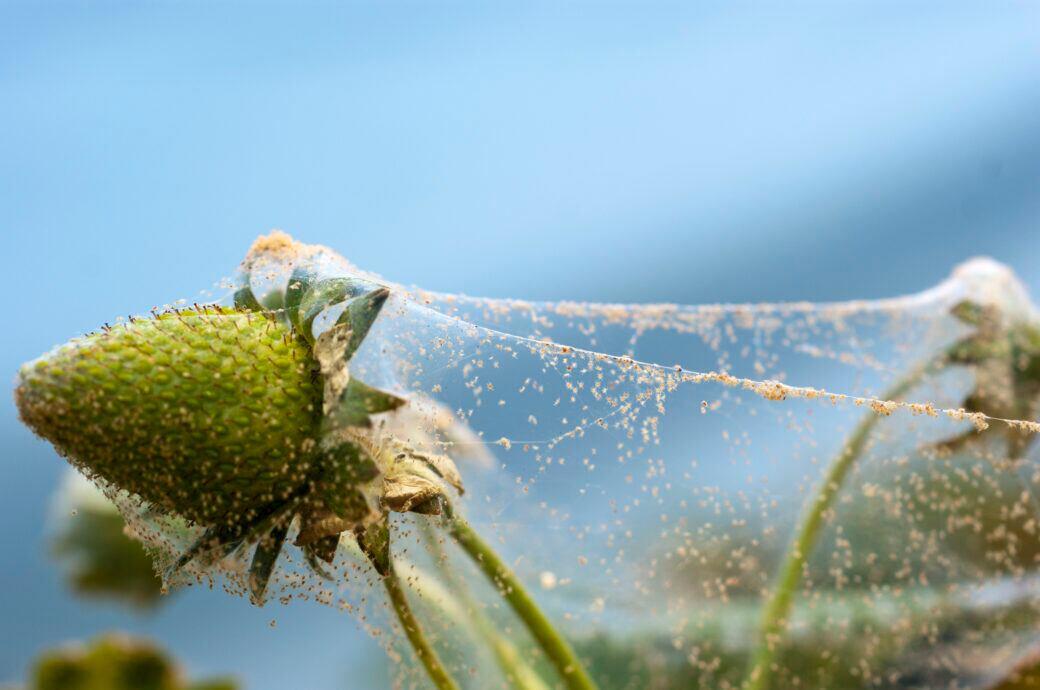 Spinnmilben im Garten bekämpfen