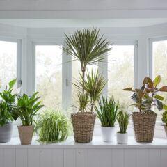 Verschiedene Blumentöpfe mit Palmen, Gummibaum und Bogenhanf auf einem Fensterbrett vor einem Fenster